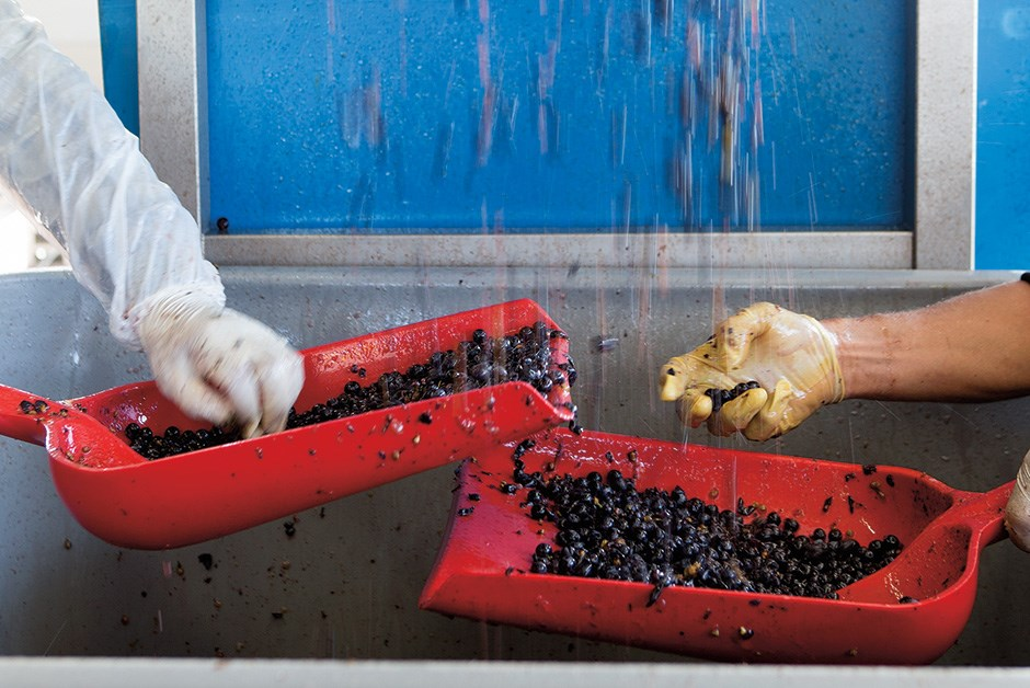 Grape sorting and processing at hidden bench