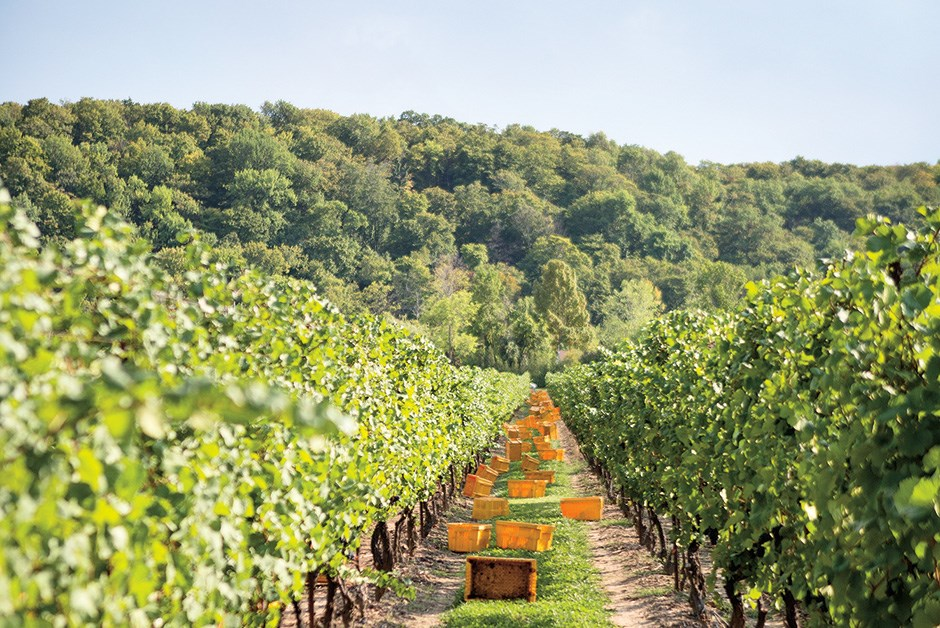 In the vineyards at cave spring
