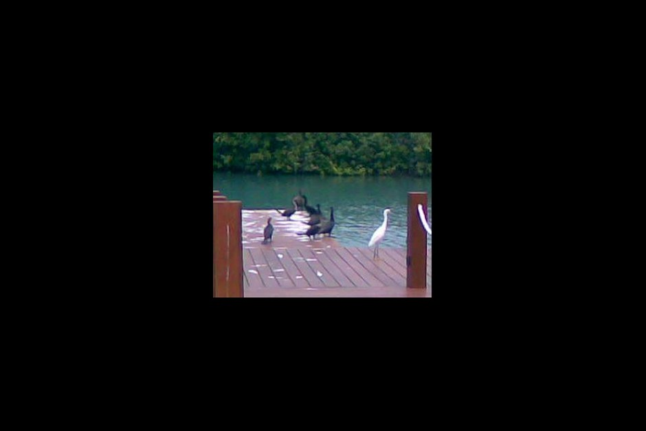 The Cormorants love our dock!