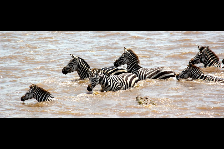 Zebra vs Crocodile!