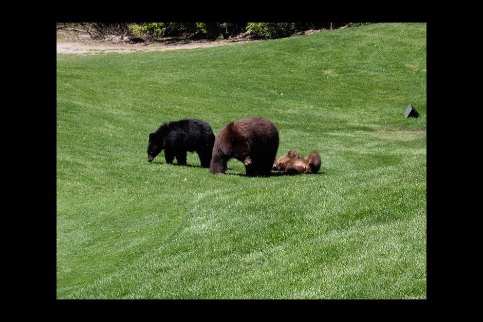 Bears at The Fairmont Chateau Whistler
