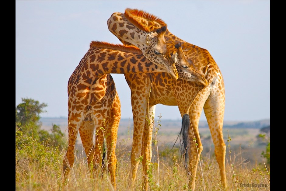 Giraffes of Kenya