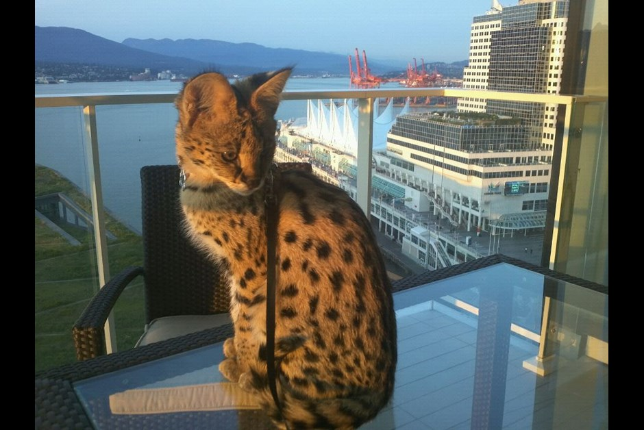 Ramsey, the African Serval, welcomed at the Fairmont Pacific Rim