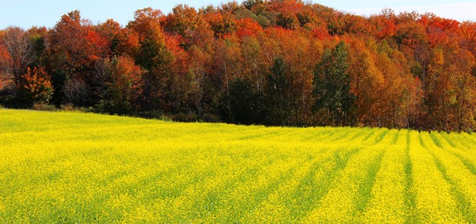 Mustard Fields and Magnificent Autumn Colours